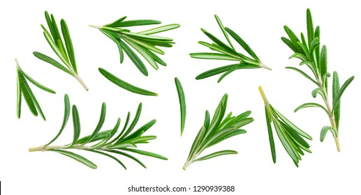 Rosemary twig and leaves isolated on white background with clipping path, close-up, collection