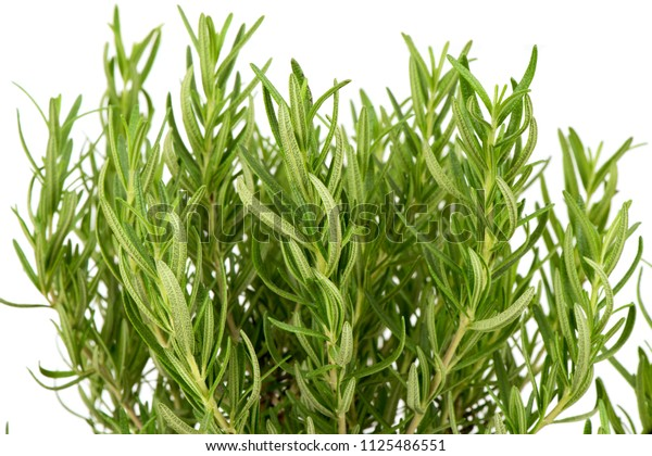 Rosemary,tree and green leaves ,spice and herb have property medicine.