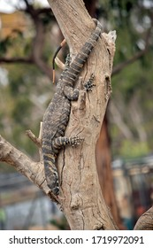 the Rosenberg lizard is a large monitor lizard that can climb trees