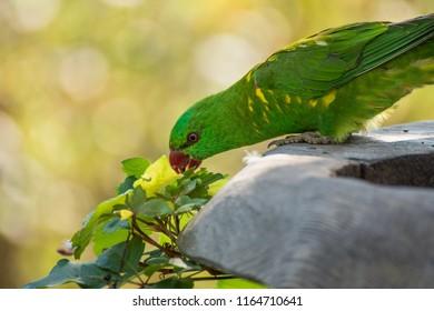 Rosenbergs Lory, parrot Lory