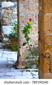A rose.Outside of the 13th century Byzantine church of Agios Dimitrios in Mystras, Peloponnese. World Heritage by UNESCO