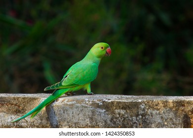 The rose-ringed parakeet, also known as the ring-necked parakeet, is a gregarious tropical Afro-Asian parakeet species that has an extremely large range.
