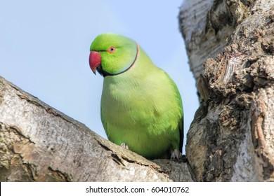 Rose-Ringed Parakeet in tree. (Psittacula Krameri)