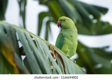 Rose-ringed parakeet wandering around Kabini wildlife sanctuary