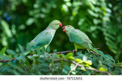 Rose-Ringed Parakeets in Hyde Park, London