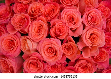 Roses background. Lot of beautiful red roses, top view.