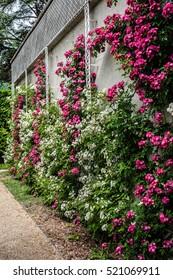 Roses in beautiful Albert Kahn Park. Boulogne-Billancourt, Paris.