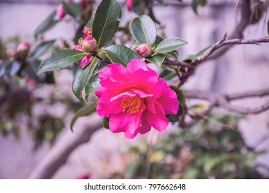 Roses. Beautiful pink flowers.