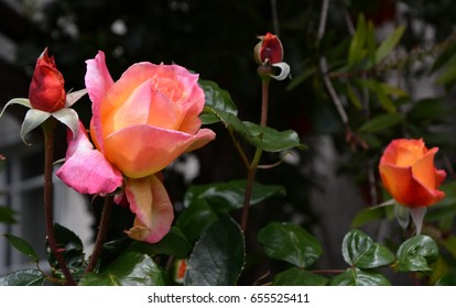 Roses in Berkeley in spring 2017, California, USA