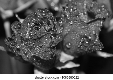 roses in black and white with waterdrops