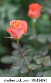 Roses blooming in garden with soft blossom petals. This is the symbolic flower of love