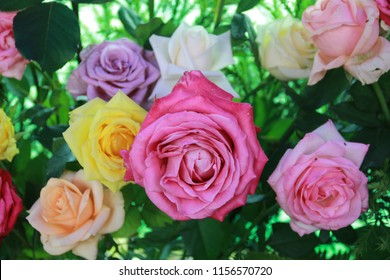 Roses are blooming with a variety of colors.
