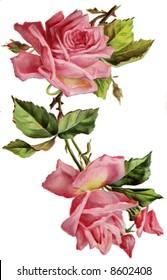 Roses - a circa 1908 vintage illustration