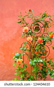 Roses climbing against a pink stucco wall in Certaldo, Tuscany, Italy
