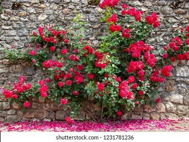 Roses climbing a wall