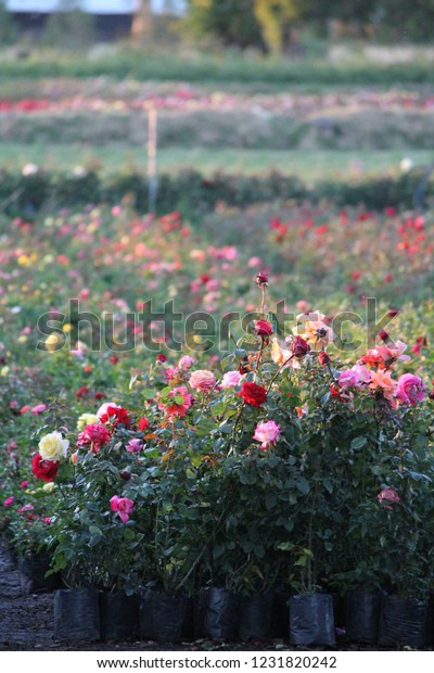 Roses of different shades of red and pink surrounded by green plants in a field of Atlixco Puebla in Mexico