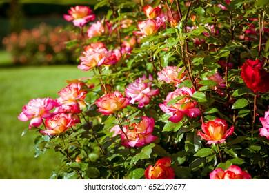 Roses flowering in garden