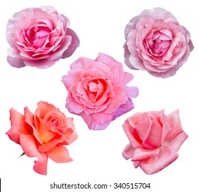 Roses flowers it is isolated on a white background