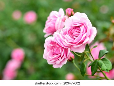 Roses are the flowers used to express love in a special session right would like to present a rose to each other