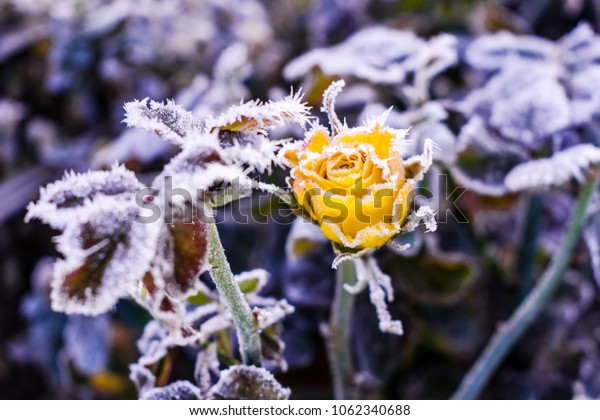 roses in frost