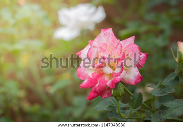 Roses in the garden, Roses are beautiful with a beautiful sunny day.