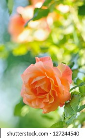 Roses in Garden with Natural Blurred Background