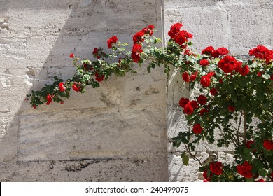 Roses growing against the stone outer walls of Hagia Sophia, in Istanbul, Turkey