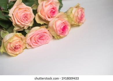 roses are light pink on a white background . March 8 . space for text