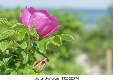 Roses on the beach of the Baltic Sea