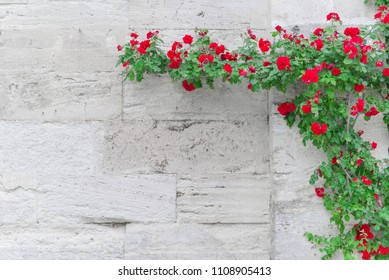 Roses on an old wall Old brick wall, hundreds of years old, with climbing roses blossoming.