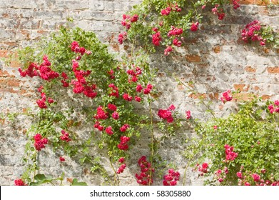 Roses on an old wall Old brick wall, hundreds of years old, with climbing roses blossoming.  English summer scene.