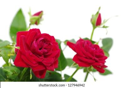 roses over white