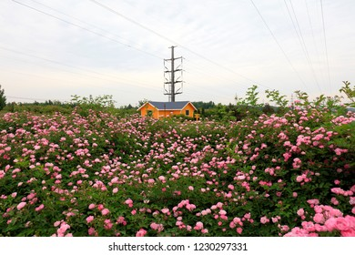 Roses are in the park