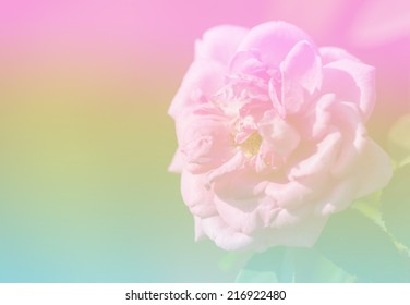 Roses in pastel background with soft focus.Stock