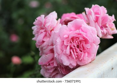Roses pink color with water drops near white fence background