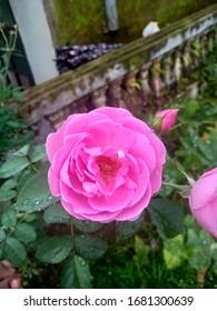 roses in the rainy season