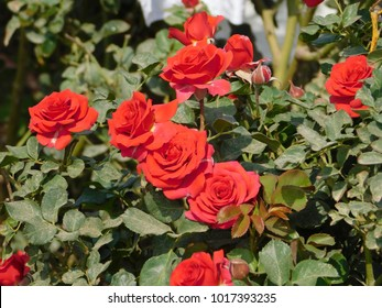Roses from the rose farm