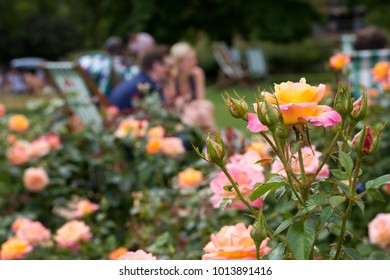 Roses in a rose garden, people relaxing on the sun loungers in the background.