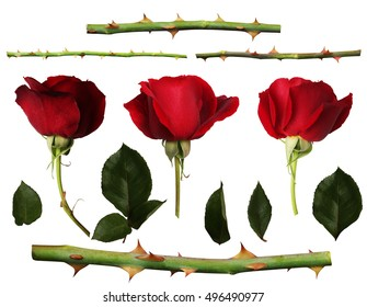 Roses set with petals and thorn. Isolated white background