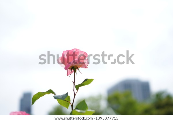 https://image.shutterstock.com/image-photo/roses-shiba-park-on-may-600w-1395377915.jpg
