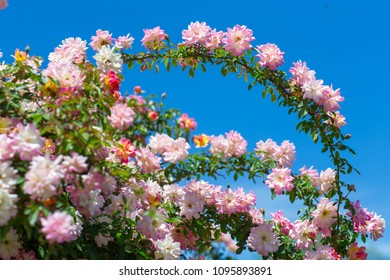 roses with sky in background