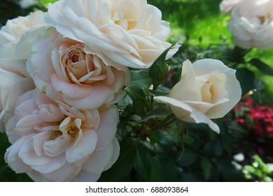 Roses of tender color grow in the garden