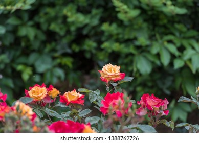 Roses. These roses are captured in Sulaymaniyah, the spring is in the air and this is the time to capture the beauty of our mother nature.which we damaged for centuries.