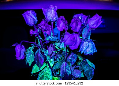 Roses under a blacklight