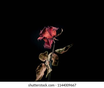 Roses withered on black background.