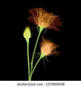 Roses X-ray - colorized on black.