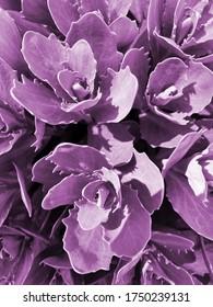 Rosetta stonecrop, or Sedum rosetta. Close-up photo