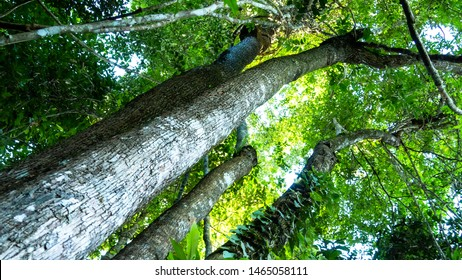 Rosewood tree in the forest