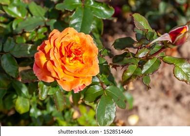 Rosie the Riveter rose flower in the field. Scientific name: Rosa 'Rosie the Riveter'. Flower bloom Color: Orange and orange blend.