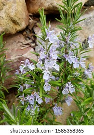 Rosmarin, Rosmarinus officinalis, is an important medicinal plant and a scented plant with blue flowers. It is a beautiful perennial and is also used in the kitchen as a seasoning.